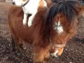 Pony mit Hund - Ponyreiten Würenlos