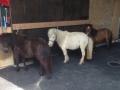 Shettlandponys - Ponyreiten Würenlos