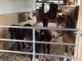 Ponys - Ponyreiten Würenlos